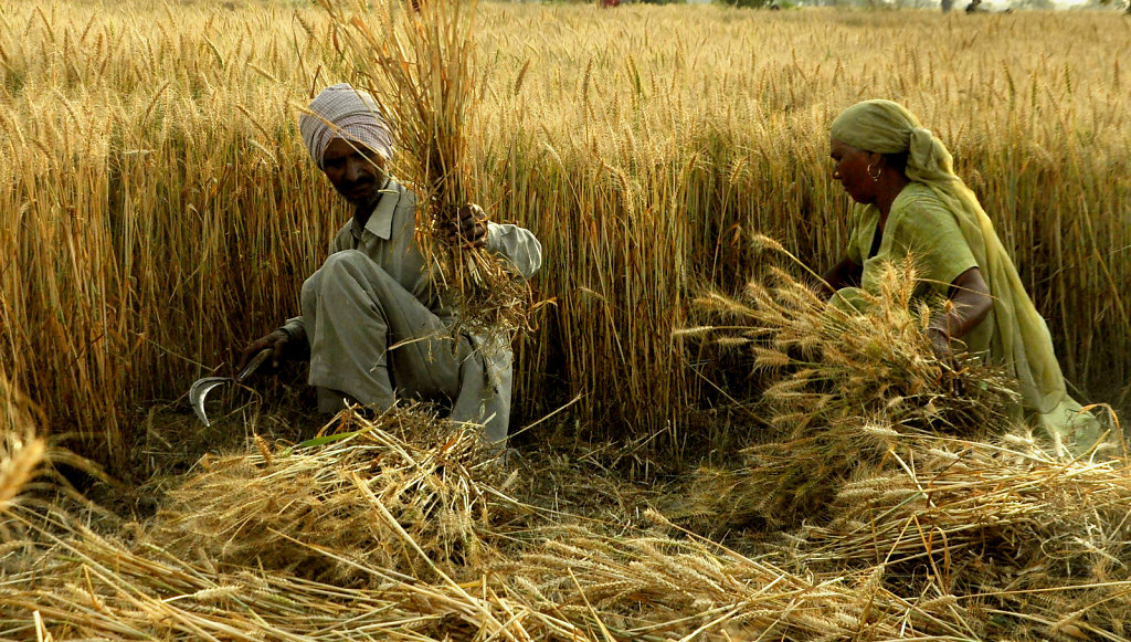 A farmer harvests his wheat crop